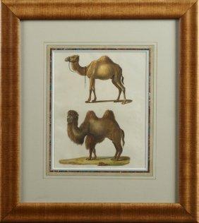 "German School, ""camels,"" C. 1900, Colored Natural"