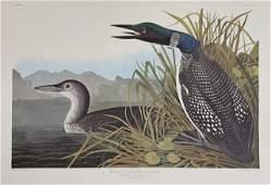 """John James Audubon (1785-1851), """"Great Northern Diver"""
