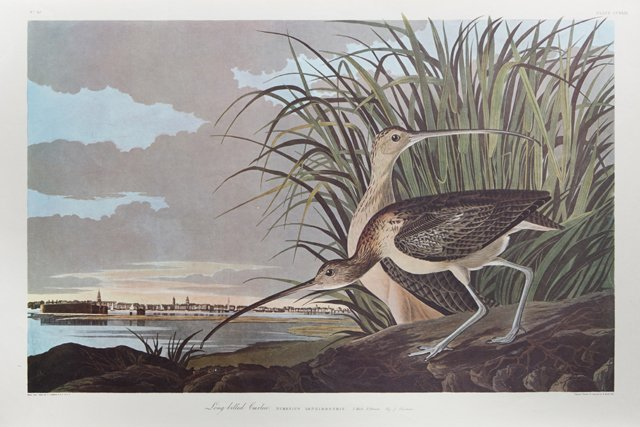 "John James Audubon (1785-1851), ""Long-billed Curlew,"""