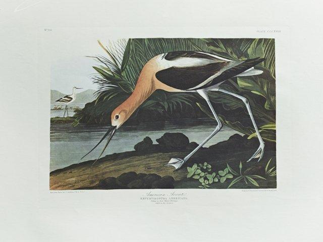 "John James Audubon (1785-1851), ""American Avocet,"" No."