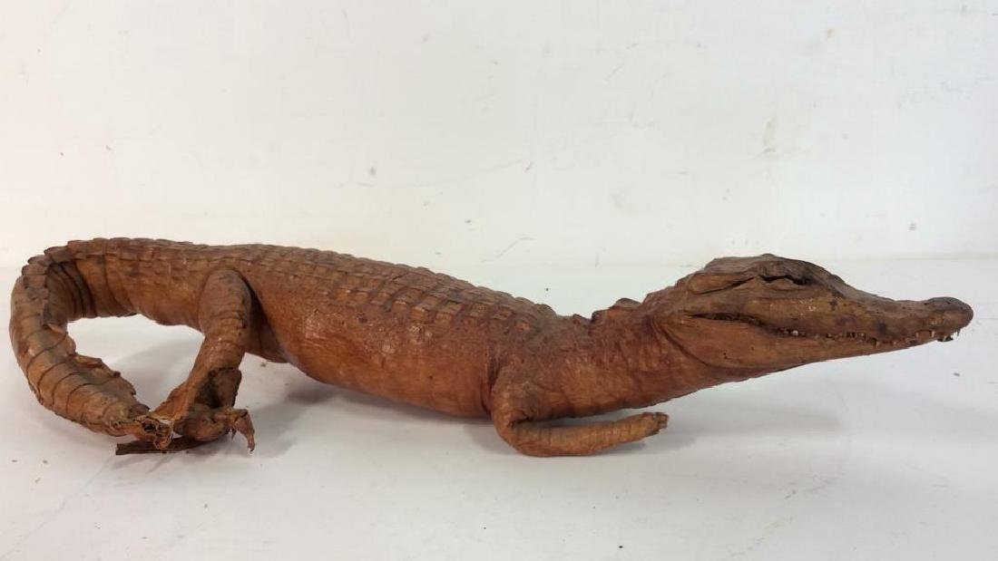 Vintage Taxidermy Baby Alligator Signed illegibly on