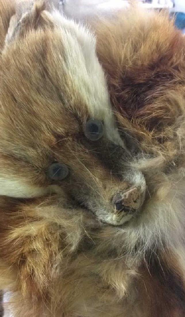 2 Antique Genuine Fur Pelt Wraps Group of 2, likely - 3