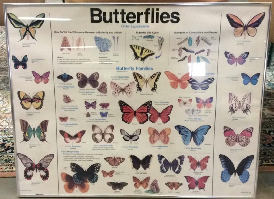 Framed Informational Butterfly Poster