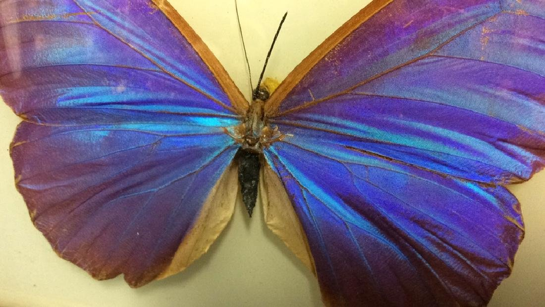 Preserved Mounted Butterfly Wall Art - 4