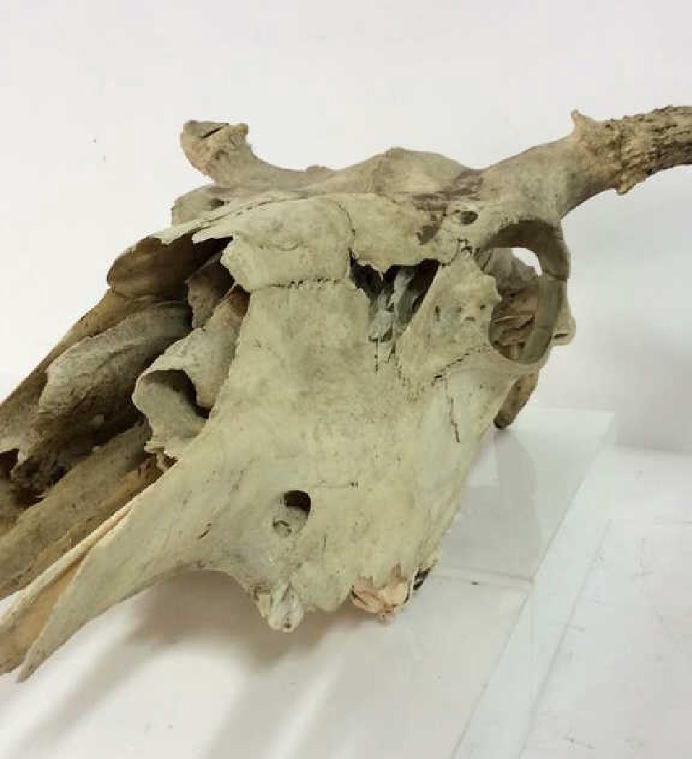 Vintage Antlered Deer Skull - 2