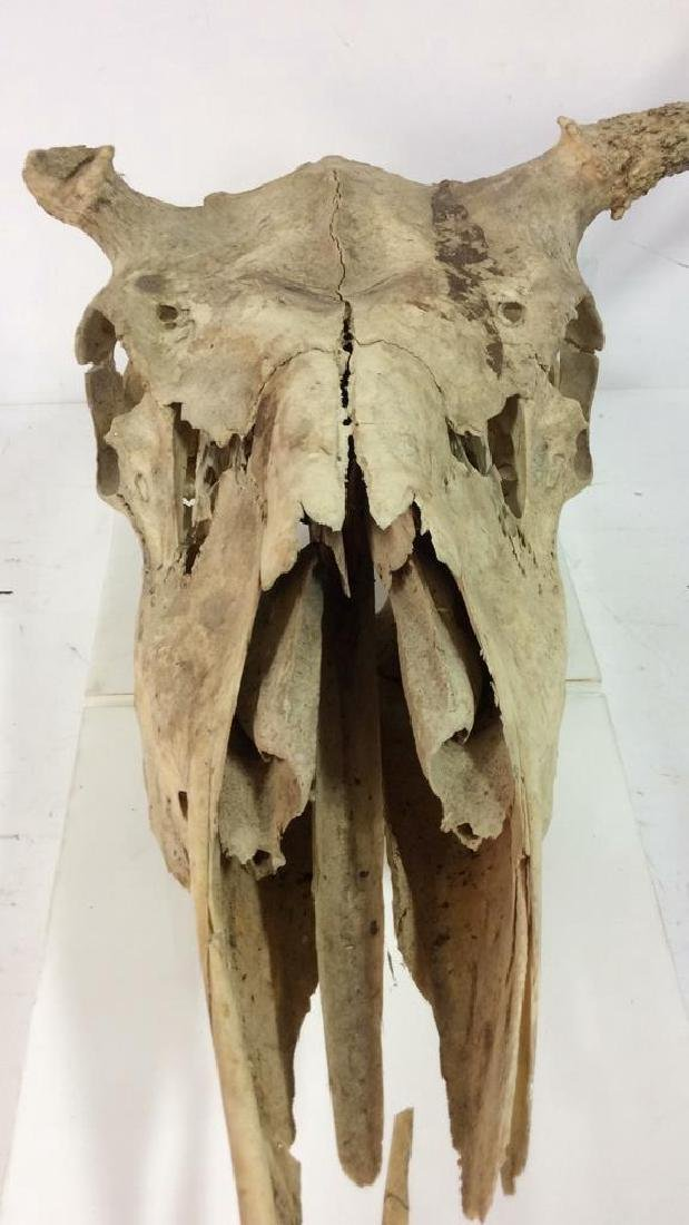Vintage Antlered Deer Skull - 3
