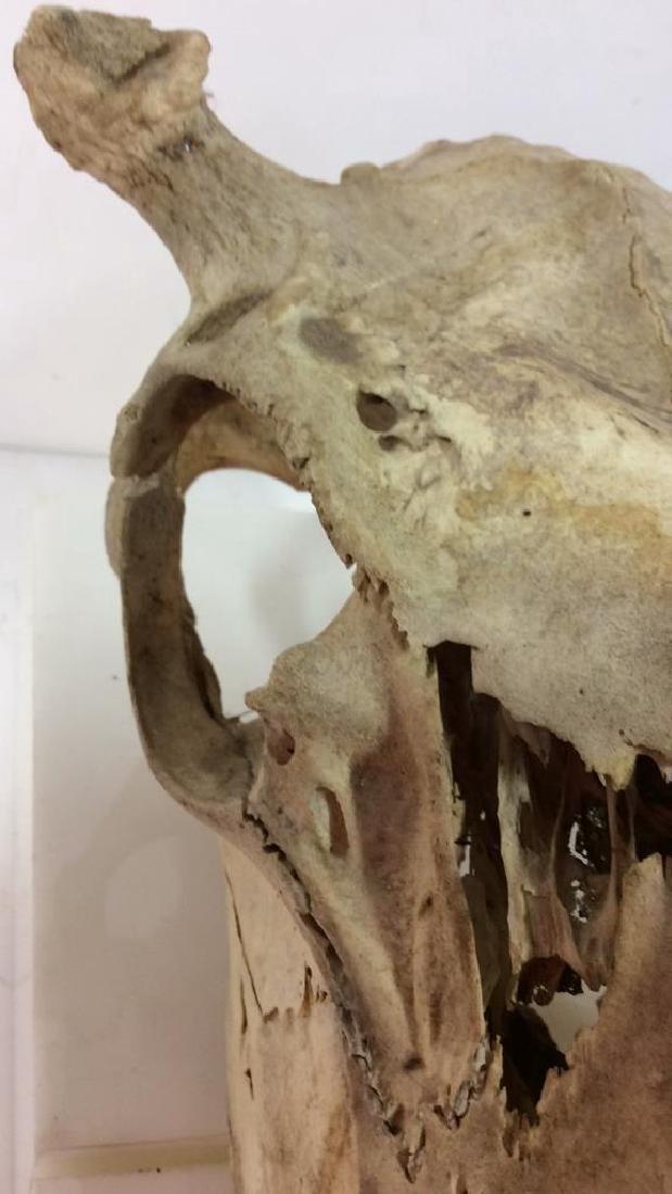 Vintage Antlered Deer Skull - 5