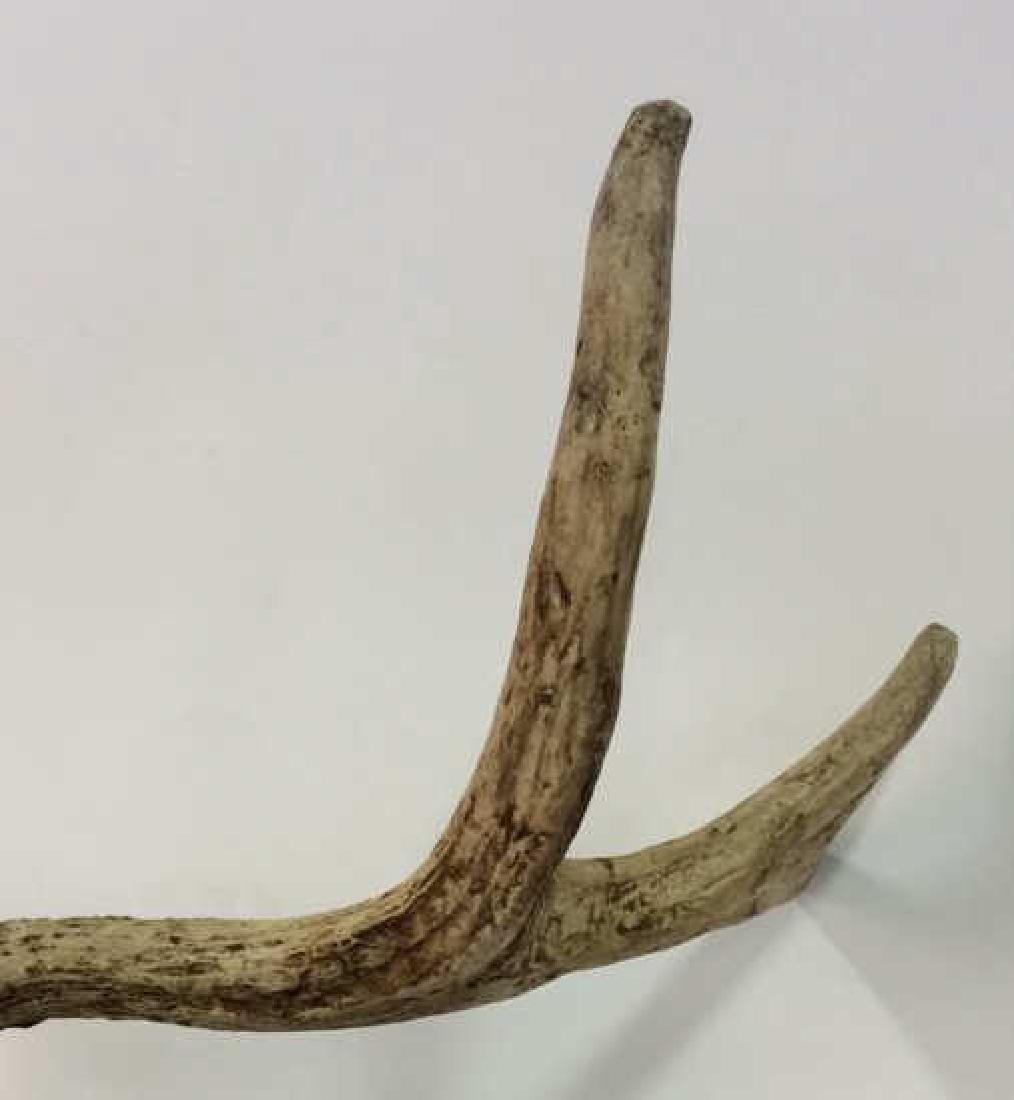 Vintage Antlered Deer Skull - 7