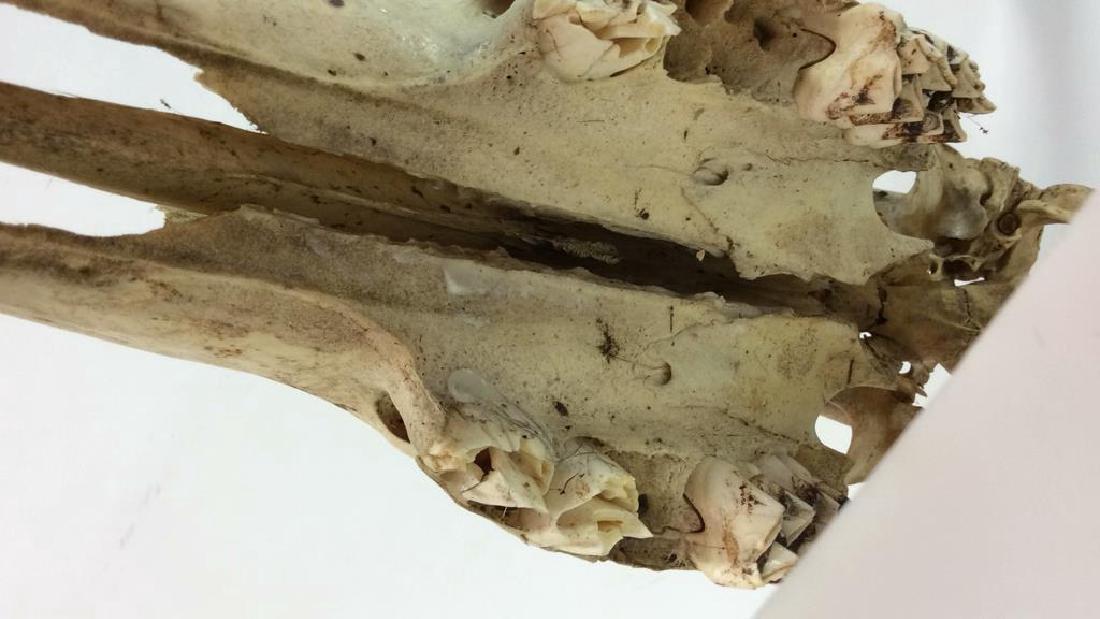 Vintage Antlered Deer Skull - 8