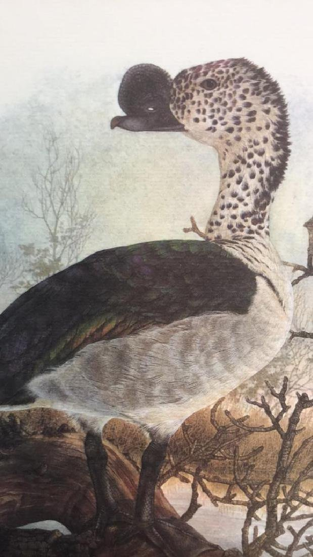 Lot 4 Ducks Of Sub-Sahara Africa Prints G. Darroll