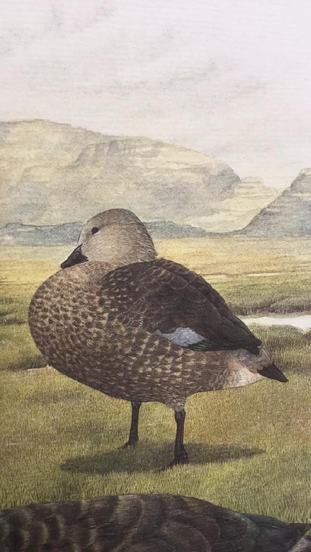Lot 4 Ducks Of Sub-Sahara Africa Prints G. Darroll - 9