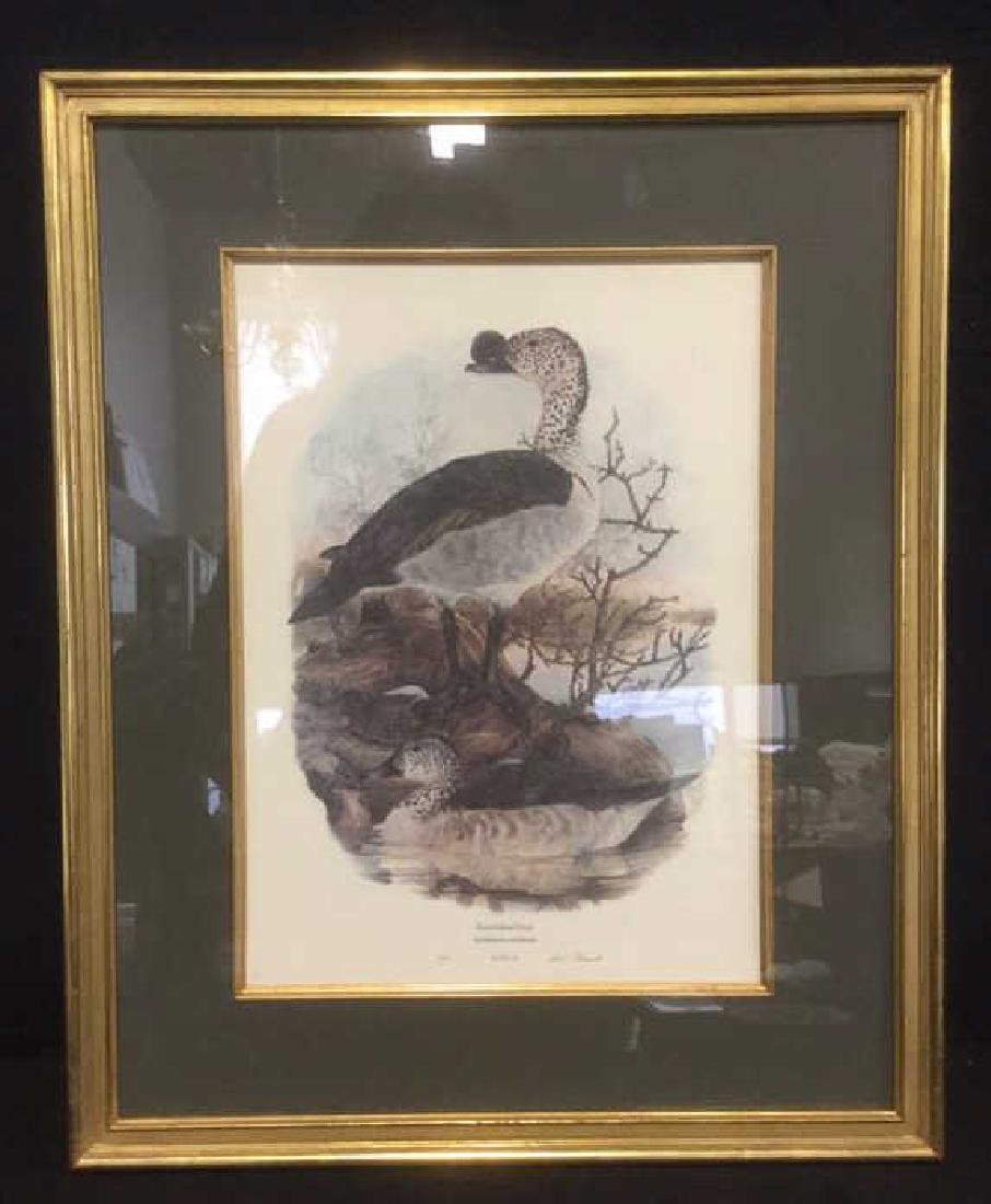 Framed Print Knobbilled Duck By Gail Darroll