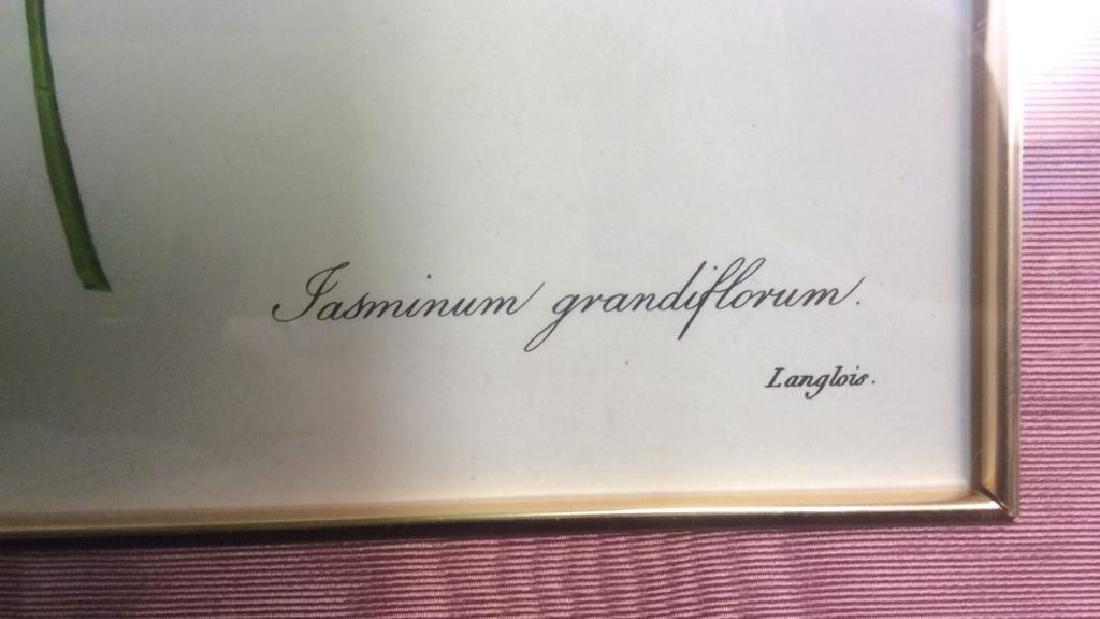 P.J. REDOUTE Print Of Jasminum Grandifforum - 6