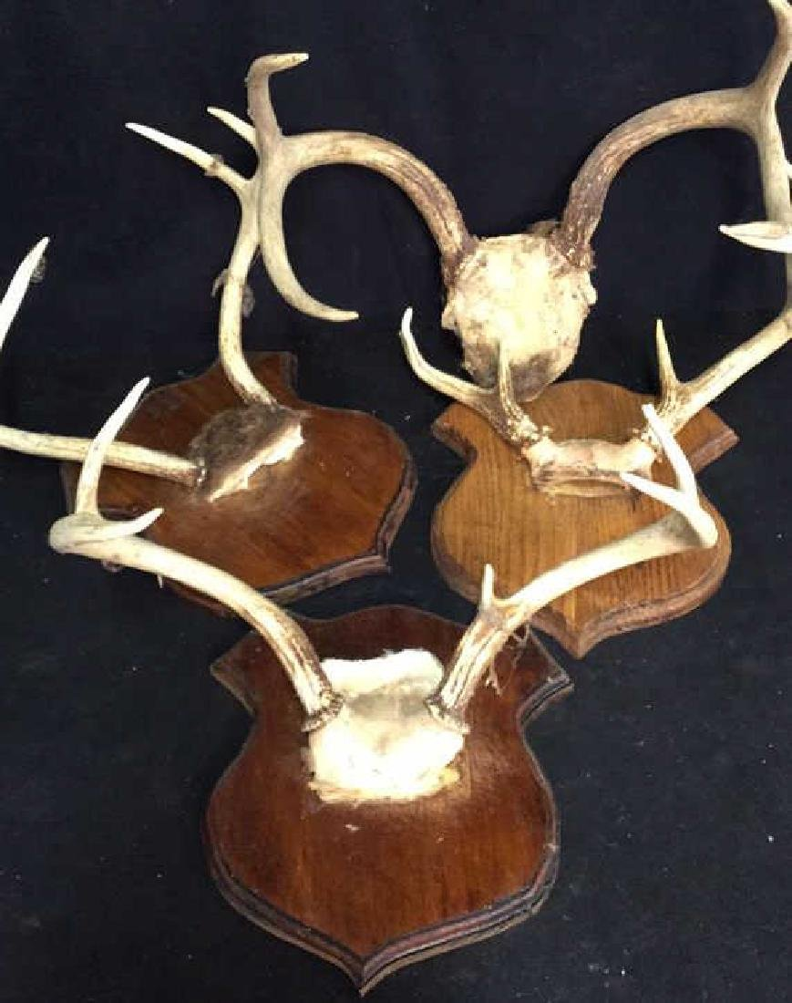 Group of Deer Antlers, 3 On Carved Displays - 2