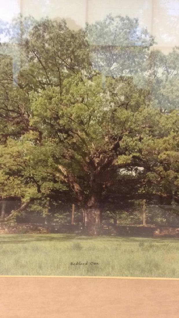 Bedford Oak 1980 Photographic Print - 3