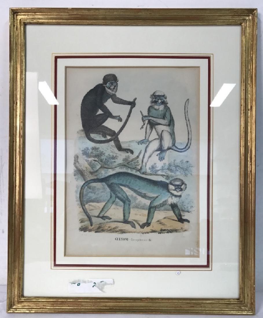 Hand Colored Framed Monkey Art Print, GUENONI