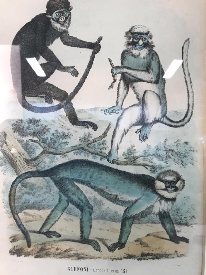 Hand Colored Framed Monkey Art Print, GUENONI - 4