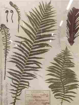 Offset Lithograph of Ostrich Fern