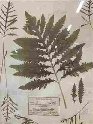 Offset Lithograph of the Sensitive Fern