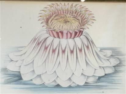 Floral Lithograph of Victoria Regia