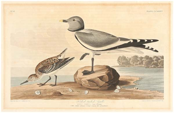 22: Audubon print by Havell