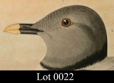 22: Audubon print by Havell - 2