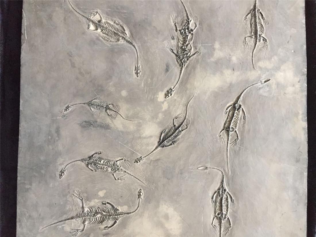 A Fossil Of GuiZhou 'Dragon' - 2