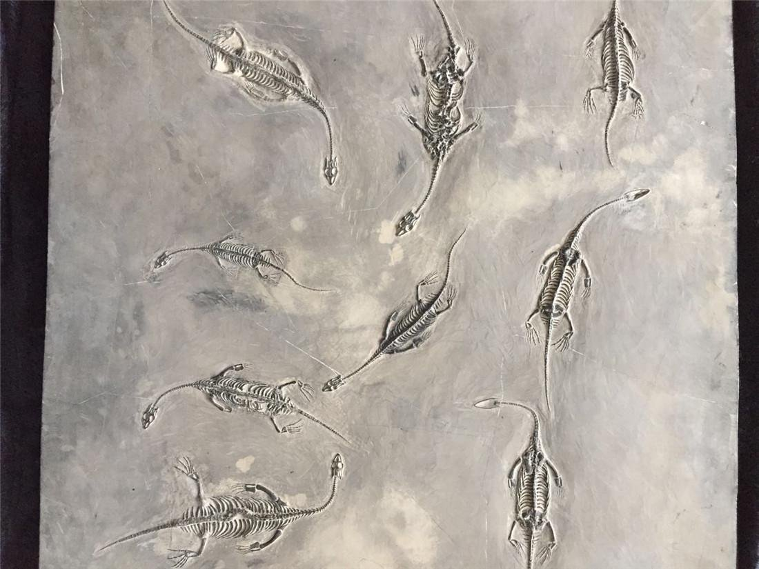 A Fossil Of GuiZhou 'Dragon' - 6