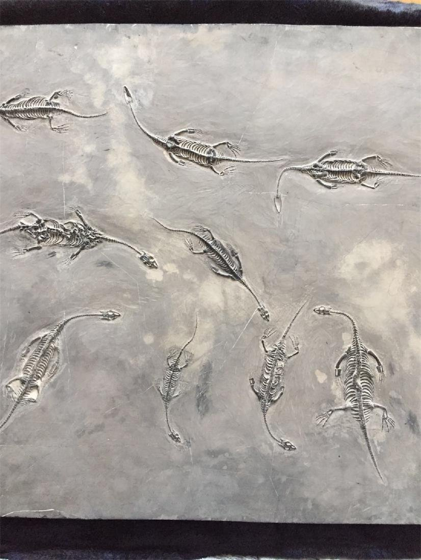 A Fossil Of GuiZhou 'Dragon' - 8