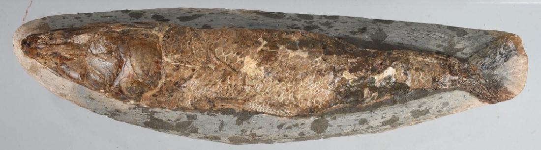 FOSSIL RHACOLERIS BUCALIS (FISH) - 2