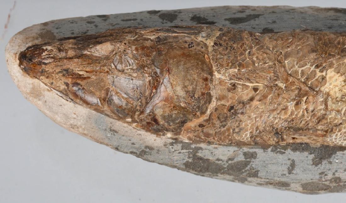 FOSSIL RHACOLERIS BUCALIS (FISH) - 3