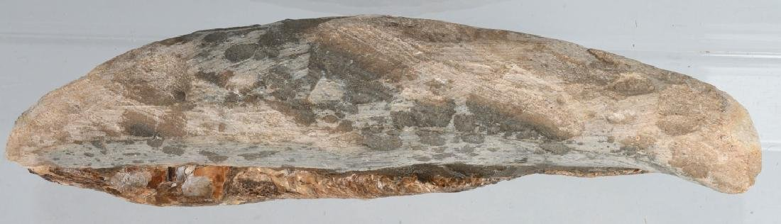 FOSSIL RHACOLERIS BUCALIS (FISH) - 5