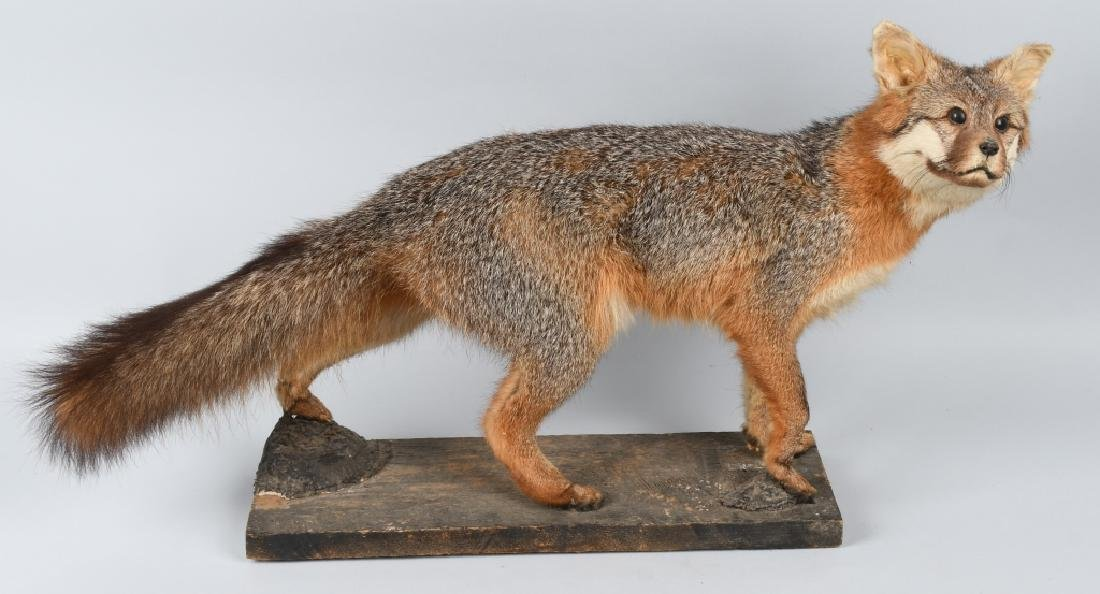 TAXIDERMY FULL BODY MOUNTED FOX