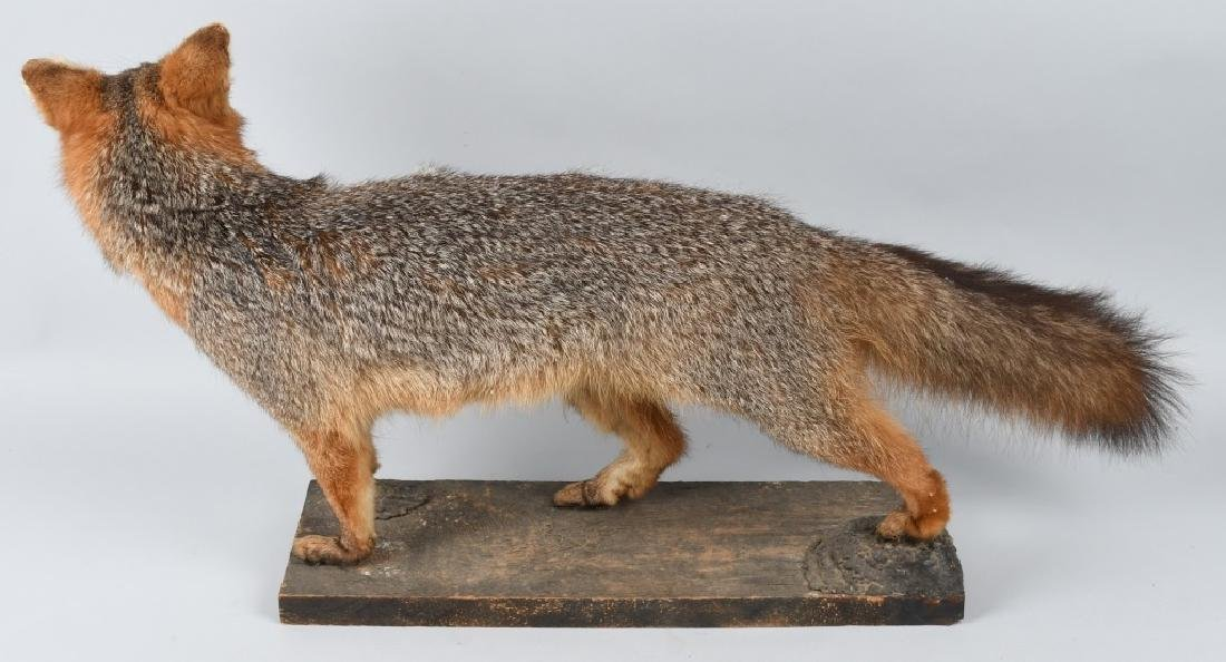 TAXIDERMY FULL BODY MOUNTED FOX - 3
