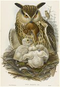 GOULD. Birds of great Britain.