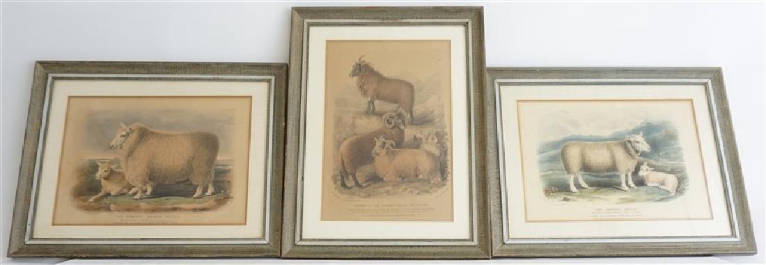 3 BRITISH SHEEP c. 1842 HAND COLORED LITHOS