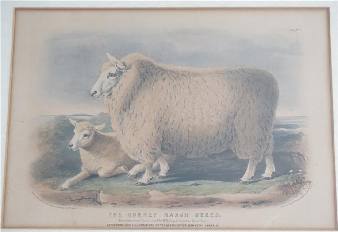 3 BRITISH SHEEP c. 1842 HAND COLORED LITHOS - 2
