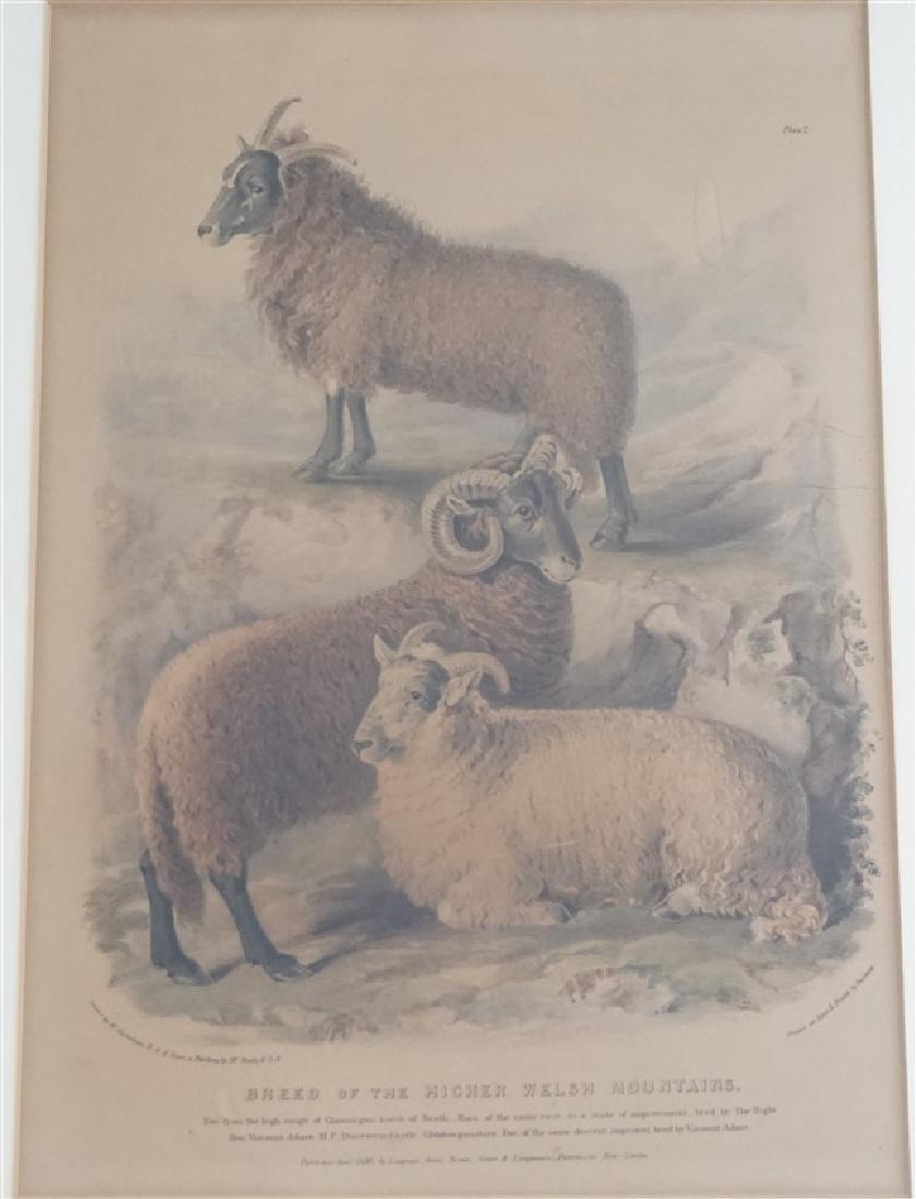 3 BRITISH SHEEP c. 1842 HAND COLORED LITHOS - 3