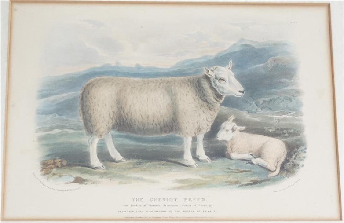 3 BRITISH SHEEP c. 1842 HAND COLORED LITHOS - 4