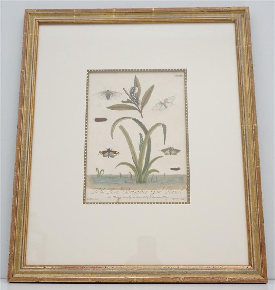 ELEAZAR ALBIN c. 1720 HAND COLORED MOTH ENGRAVING