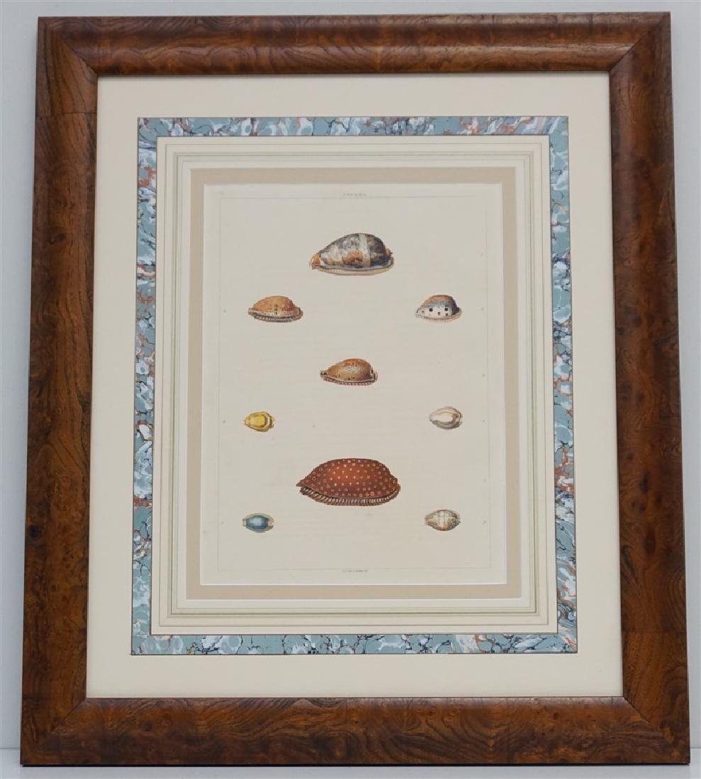 SHELLS 1810 HAND COLORED AQUATINT ENGRAVING