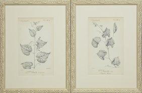 """H. Gillet, """"v. Rupestris,"""" And """"v. Retordi,"""" Early 20th"""