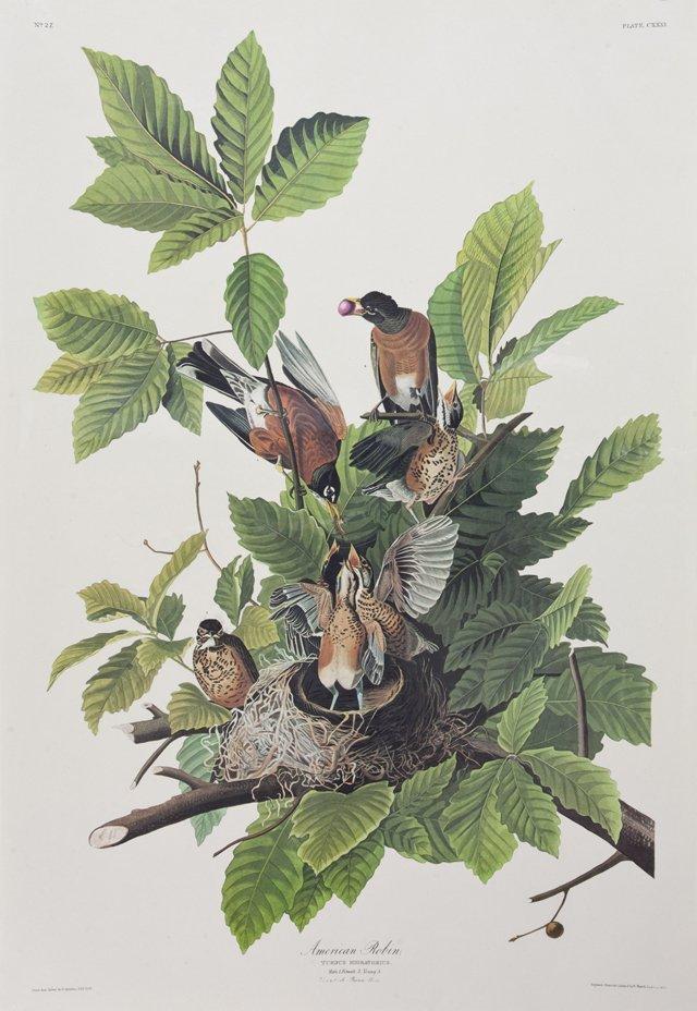 "John James Audubon (1785-1851), ""American Robin,"" No."