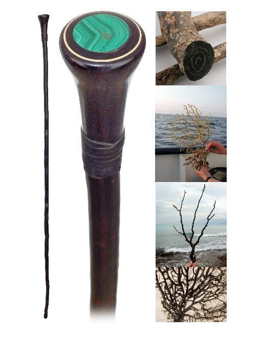 22. Black Coral Cane -Ca. 1900-Longer and tapering