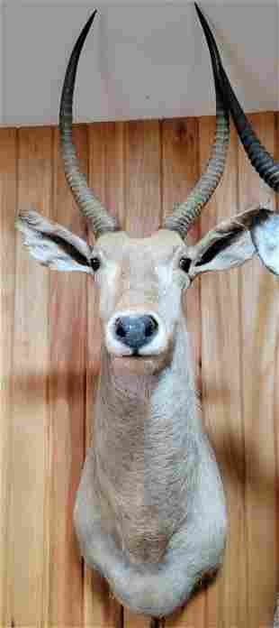 AFRICAN WATERBUCK HEAD MOUNT TAXIDERMY - 26 X 35""