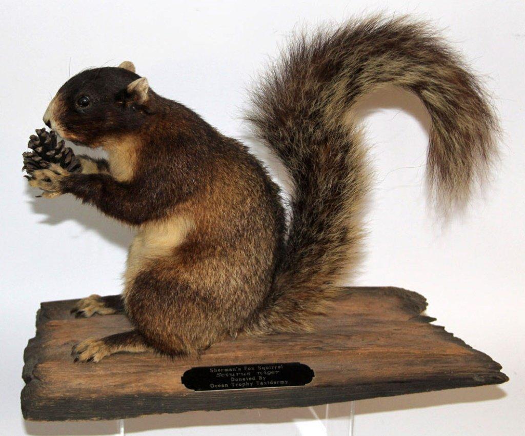 MOUNTED SHERMAN'S FOX SQUIRREL