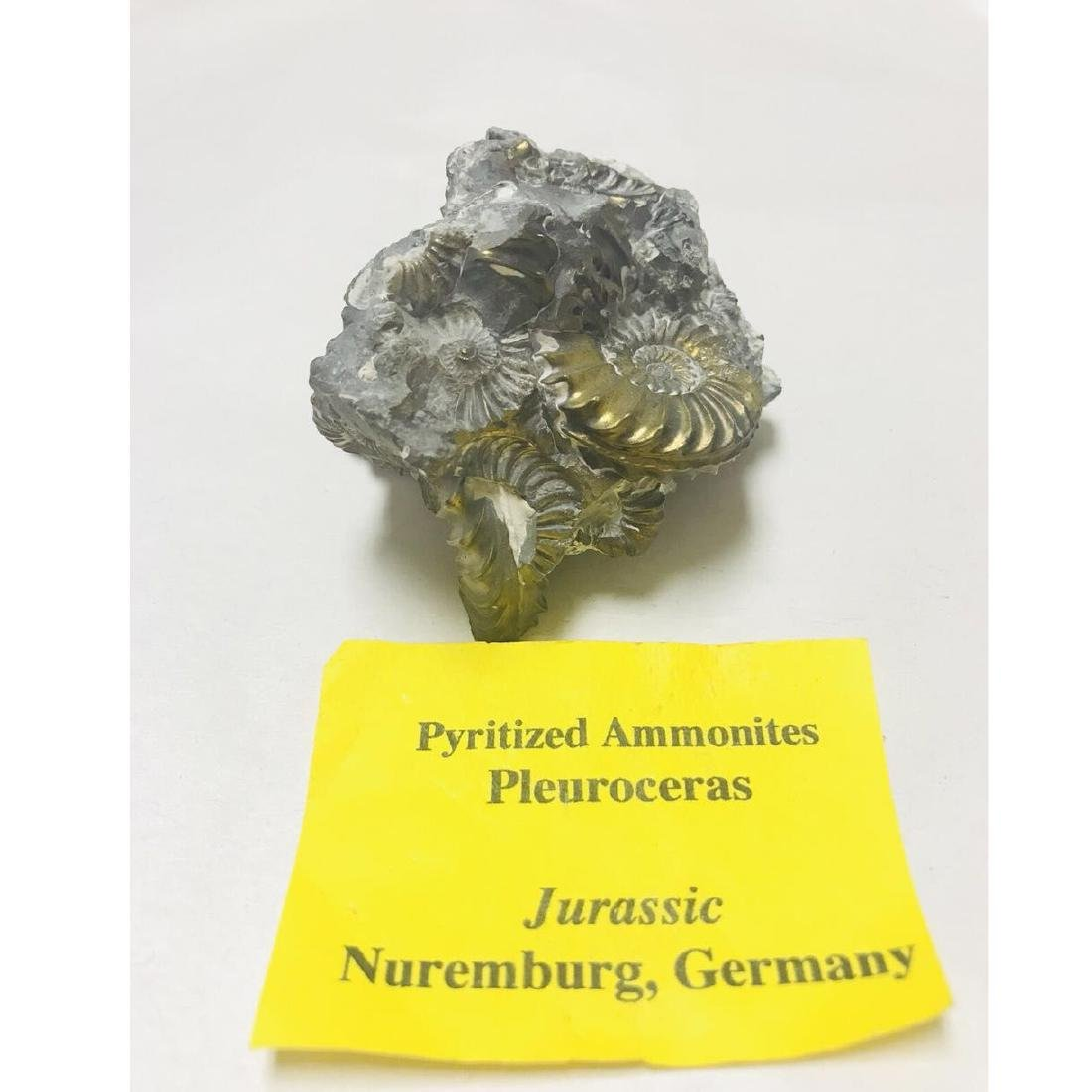 Pyritized Ammonites Fossil