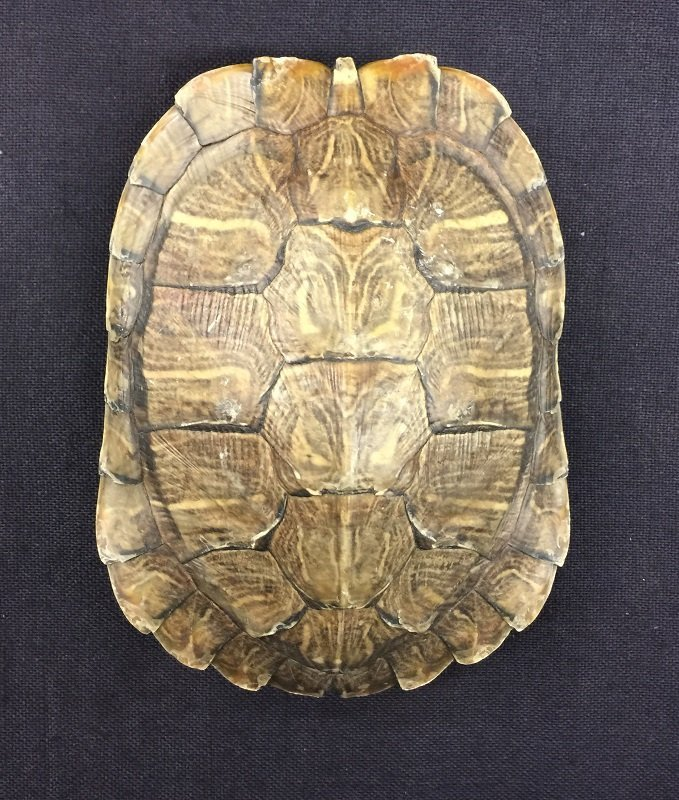 A Nicely Antique Natural Turtle Shell