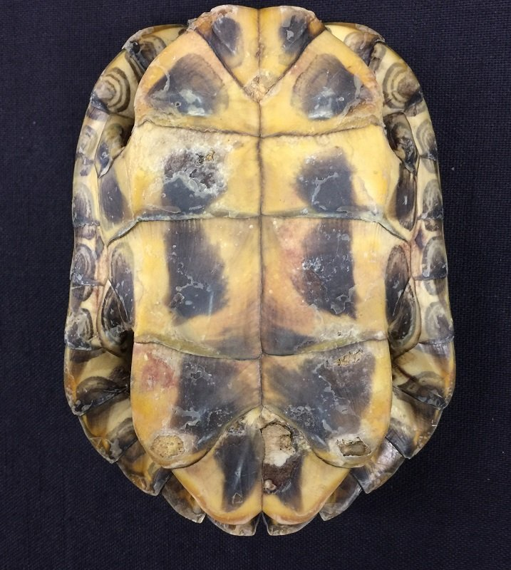 A Nicely Antique Natural Turtle Shell - 2