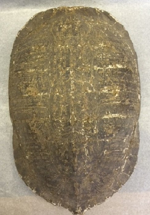 A Rarely Ancient Turtle Shell Carved Oracles